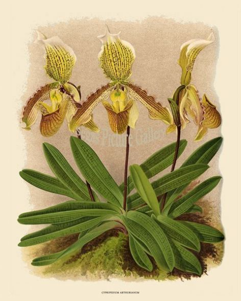 Fine art print of the Orchid Cypripedium Arthurianum by John Nugent Fitch